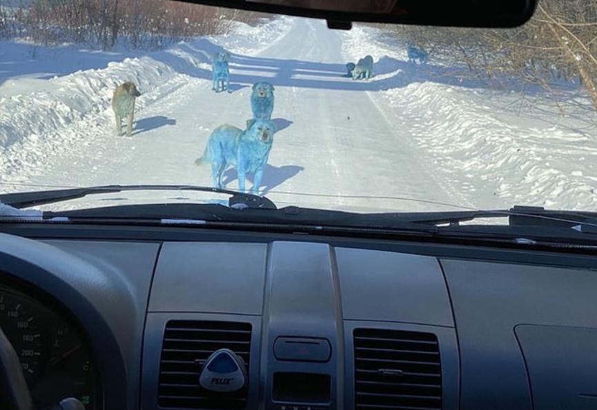 Câini cu blană albastră în Rusia